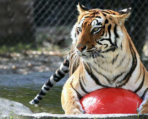 Swimming Tigers Love Their Happy Home