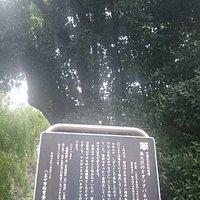 オオツクバネガシの大木(八王子市指定の天然記念物)