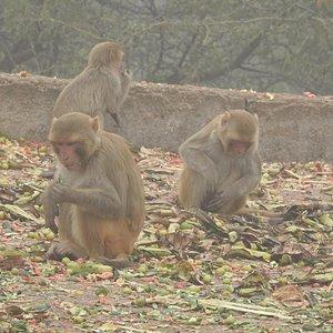 Monkey feeding at Asola WLS