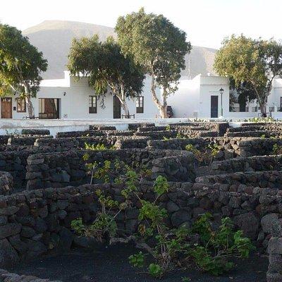 Geschützte Weinreben in Guatiza