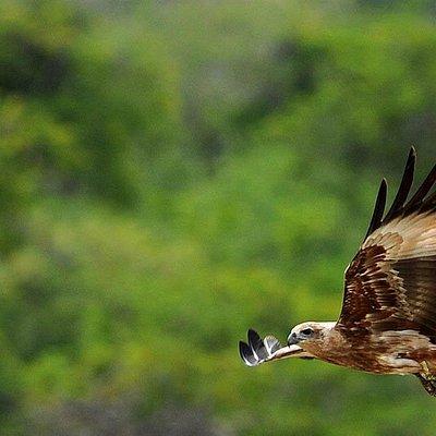 eagle from yala national park