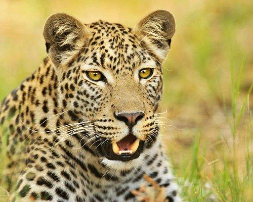 A beautiful Leopard on safari with Ulinda Safari Trails