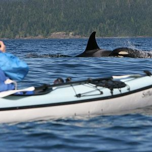Orcas swimming by kayak group