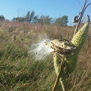 Milkweed on the Dahlem prairie