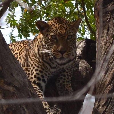 Fabulous leopard