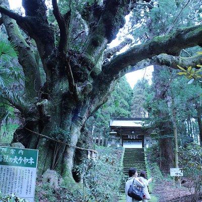 籾山神社のご神木 樹高25m 大ケヤキ