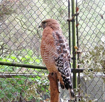 One of  two Red Tail Hawks Rescued.