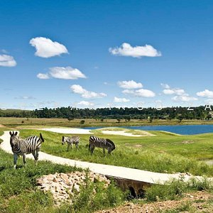 Zebra's on the golf course
