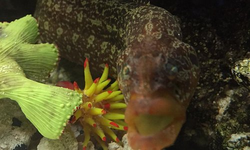 green wolf eel blenny
