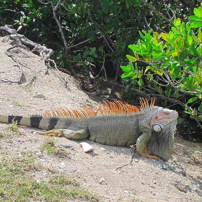 Lots of iguanas on the beach