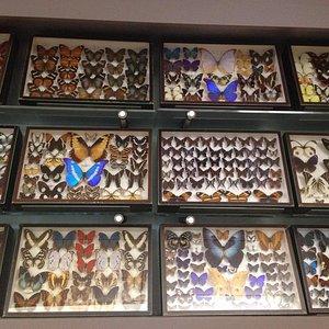 Collezione delle farfalle