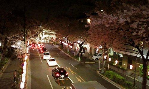 夜桜 中野通り