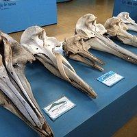 Crânios de baleias