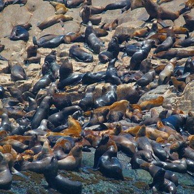 Lobos marinos en Islas Palomino