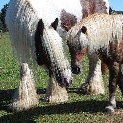 meine beiden Lieblingspferde (das Shetty hat mir mal gehört) Odina-Tinkerstute Jorgi-Shettywalla