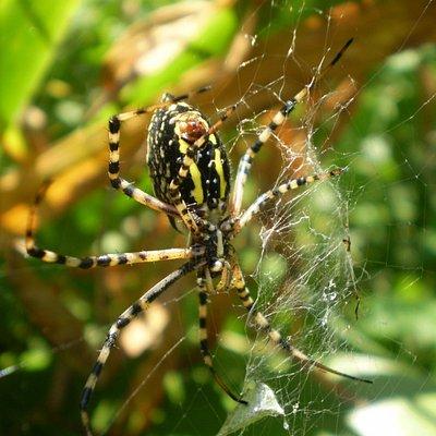 an excellent capture of a beautiful Garden Spider (Argiope aurantia)  such a helpful spider !