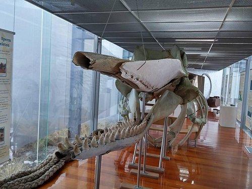 Sperm Whale Skeleton on exhibit