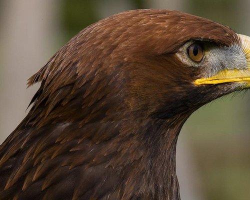 """""""Boudicca"""" Golden Eagle."""