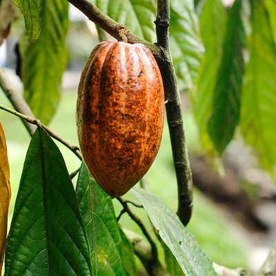 Meet the CACAO TREE and feast on it´s fruit.