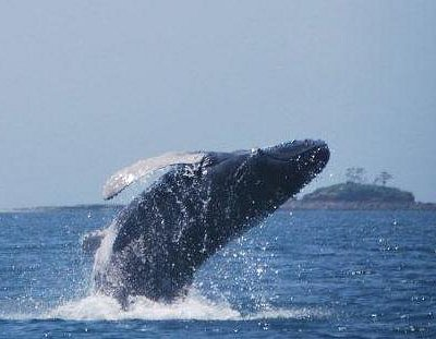 A Humpback calf practicing his breaching in the Pearl Islands, Panama