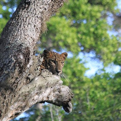 Yala Leopard by Yala Safari