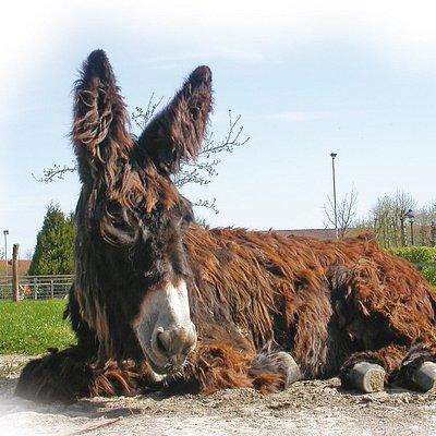 Poitou-Esel im Haustierpark
