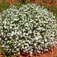 Minnie Daisy (Minuria leptophylla) - Wildflowers in the Owen Springs Reserve.