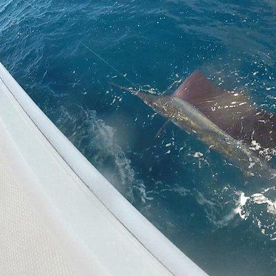 Sailfish are biting!