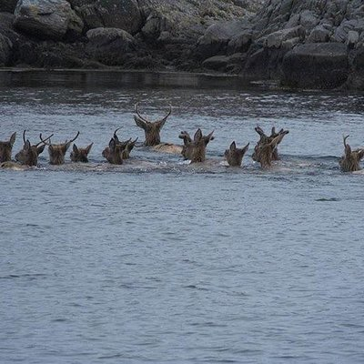 Deer swimming to the Islands