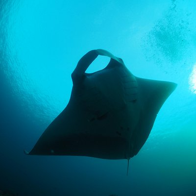 Manta Ray at the SImilan Islands