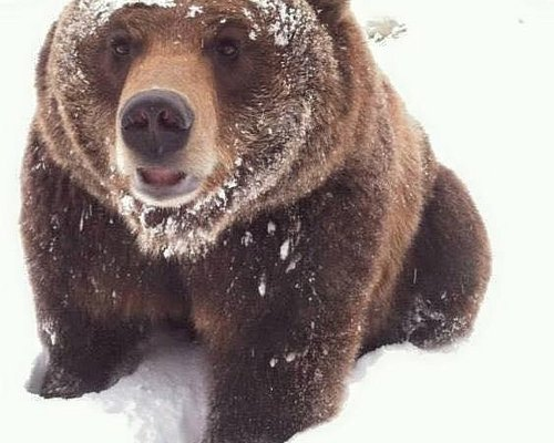 Ozzy the Grizzly