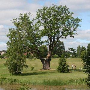 Puhajarv War Oak | Otepaa, Estonia