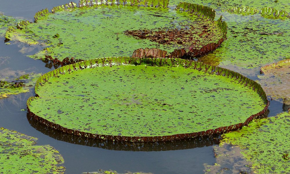 Janauari ecological park: Lily Pads