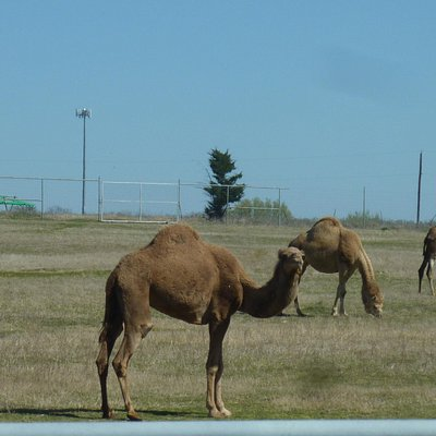 Lots of Camels in the Camel pasture, you can also feed them and pet them