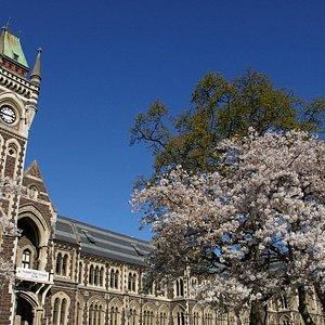 Cherry Blossom U of Otago