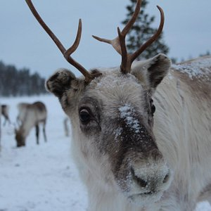Reindeer in the wilderness at Reindeer farm Petri mattus