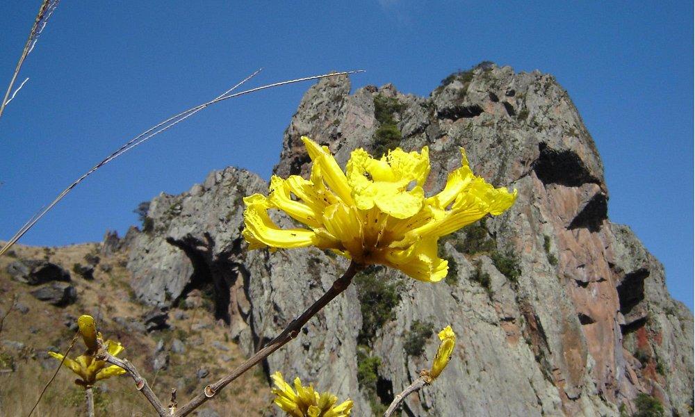 Foto de Ipê amarelo na trilha da Pedra Grande