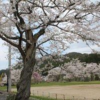 桜がキレイな校庭