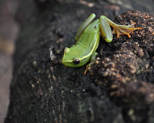 Argus Reed Frog