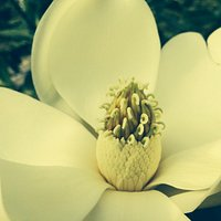 Evergreen Magnolia blooming in July.   The fragrance is divine.