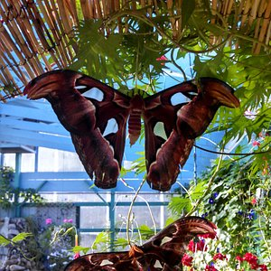Largest Moths in the World