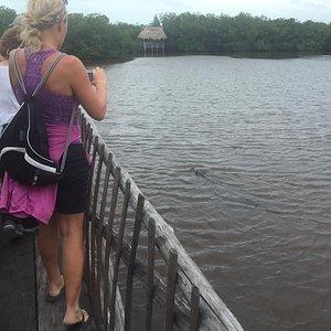 Watching the crocs swim up