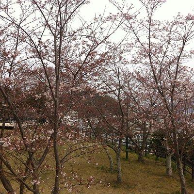 城山公园的樱花树