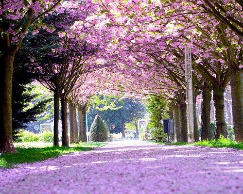 Allée des cerisiers