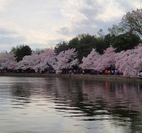 Cherry blossoms at the Washington D.C. tidal basin.
