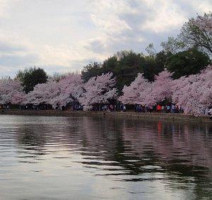 Cherry blossoms at the Washington D.C. tidal basin.