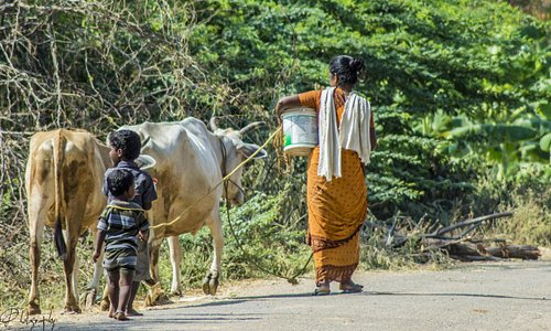 mother and children returning home with their cows.