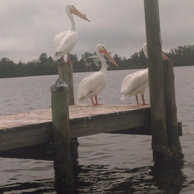 White Pelicans on the Bokelia dock these pelicans migrate all the way to the great lakes each su