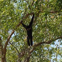Gibbons in Cha-am Forest Park