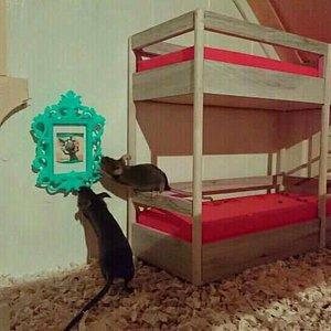 Myszy rasowe